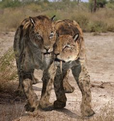 The famous, savage sabre-toothed cat Smilodon which lived for two ...