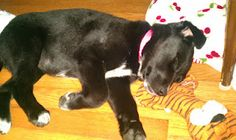 I love to sleep with my tiger!!! Border Collie Lab Mix Puppy :)