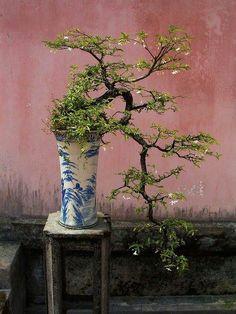 bonsai - beautiful