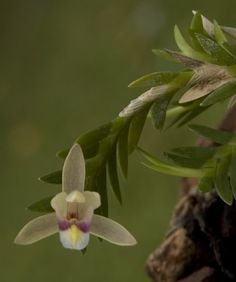 https://flic.kr/p/oaTgtn   Bromheadia brevifolia   Purchased from Ooi Leng Sun Orchids when they were at the Longwood Gardens orchid show a few years ago. It finally flowered this year!