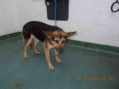 MAYA (A1648992) I am a female black and tan German Shepherd Dog mix.  The shelter staff think I am about 1 year and 6 months old.  I was found as a stray and I may be available for adoption on 10/07/2014. — hier: Miami Dade County Animal Services. https://www.facebook.com/urgentdogsofmiami/photos/pb.191859757515102.-2207520000.1412542962./849010658466672/?type=3&theater