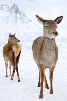 Glencoe Deer by Grant Glendinning on 500px,Two Red Deer standing on a snow…