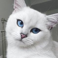 Коби — белоснежная кошка с невероятно красивыми глазами