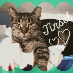 Tinsel is available for adoption from Holisticat Rescue and Rehabilitation in Woodbridge, New Jersey.