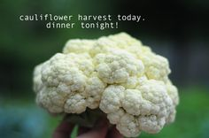 how to grow cauliflower in your backyard garden. gardening blog with pictures