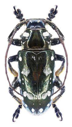 Longhorn Beetle, Beetle Bug, Beetles, Metallica, Bugs, Colorful, Insects