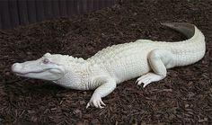 Albino crocodile