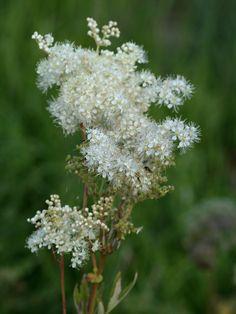 Mesiangervo | Filipendula ulmaria | Meadowsweet Finland, Wild Flowers, Natural Beauty, Dandelion, Flora, Scenery, Garden, Nature, Plants