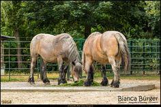 Tierpark Berlin - Pferde #Pferde #Berlin #TierparkBerlin #Deutschland #Germany #biancabuergerphotography #igersgermany #igersberlin #IG_Deutschland #IG_Berlin #ig_germany #shootcamp #shootcamp_ig #canon #canondeutschland #EOS5DMarkIII #5Diii #pickmotion #berlinbreeze #diewocheaufinstagram #berlingram #visit_berlin #Tierpark #Zoo #Lichtenberg #Friedrichsfelde #AOV5k #sightseeing #Sehenswürdigkeit #horses