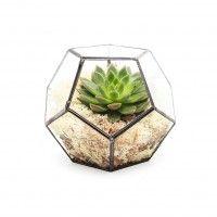 Chilli Aztec Gem - Aztec - Terrariums - UK Manufacturer & Supplier   The Urban Botanist
