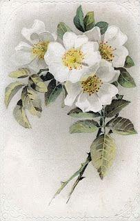 White Roses on antique postcard
