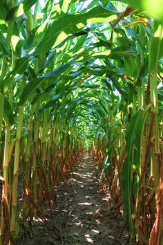 When I grew up in Nebraska....corn fields were my playground.  My friends and I would run through the rows like they were paths to some great destination!