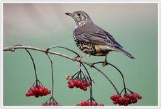 Grote lijster - Mistle thrush