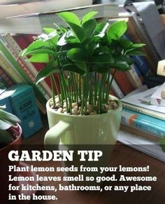 Plant lemon seeds from your lemons! Gently remove outer layer of seeds. Put back into water as you prepare soil. Plant lemon seeds in a circle pattern. Place small pebbles on top of seeds. Water occasionally and watch it grow.