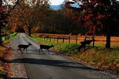 Deer in Cades Cove with fall leaves in the Great Smoky Mountains National Park.