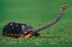 1- Eastern Long-Necked Turtle image source The eastern long-necked turtle (Chelodina longicollis)is an east Australian species of snake-necked turtle that inhabits a wide variety of water bodies and is an opportunistic feeder.It is a...