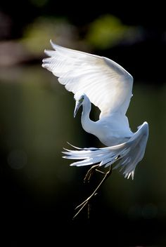 Little Blue Heron (immature), Baltimore County, MD Little Blue Heron (juvenile). Photograph by Tammy Pick Pretty Birds, Beautiful Birds, Animals Beautiful, Nature Animals, Animals And Pets, Cute Animals, Young Animal, Exotic Birds, Tropical Birds
