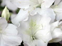 Georgia state Wildflower - azalea, many species available.