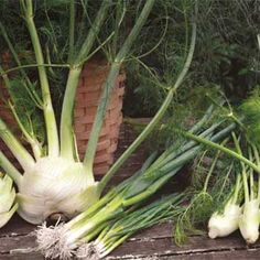 Fennel And Scallions