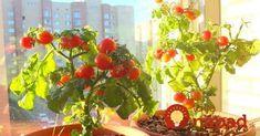 Cherry rajčiaky sa môžu vysádzať počas celého roka. Prvá úroda sa objaví 3 mesiace po výsadbe. Ale, Stuffed Peppers, Fruit, Vegetables, Awesome, Plants, Gardening, Garden Ideas, House