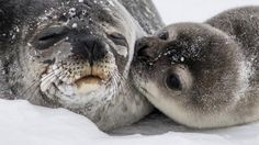 Antarctic Weddell Seal Pup's Kiss to Mom Goes Viral on Instagram