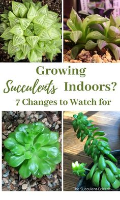 Growing succulents indoors means your plants experience very different growing conditions that outdoors. Likely more different than you realize. Watch for these 7 changes in your indoor succulents, and learn what they mean and how (or whether) to fix them! #succulentcare #indoorsucculents #indoorsucculentscare #succulentsindoor #succulentsindoorcare Indoor Succulents, Growing Succulents, Planting Succulents, Indoor Plants, Lower Lights, Succulent Care, Spring Fever, Garden Care, New Growth