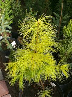 Pinus strobus 'Pacific Sunrise'