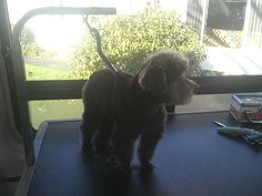 Pippen is Clean & Cute. Her owner love Aussie Pet Mobile #yyj Vancouver Island! http://www.aussiepetmobile.ca/theisland/
