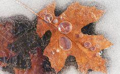 Листья во льду, Dean Pennala. Ловите мгновения на Яндекс.Картинках.