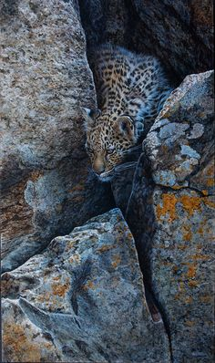 Leopard cub in hiding Acrylic on board x Leopard Cub, Wildlife Art, Cubs, Paintings, Board, Animals, Animales, Baby Leopard, Bear Cubs