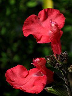 Salvia Caviar Salvia Plants, How To Attract Hummingbirds, Beneficial Insects, Caviar, Garden Ideas, Gardening, Image, Flowers, Garten