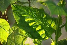 Tobacco Leaf by wiebkerost.deviantart.com on @deviantART