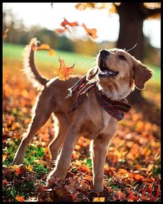 Some Helpful Ideas For Training Your Dog. Loving your dog does not mean you are willing to let him go hog wild on your possessions. That said, your dog doesn't feel the same way. Cute Dogs And Puppies, I Love Dogs, Doggies, Funny Puppies, Dog Hacks, Training Your Dog, Dog Pictures, Golden Retrievers, Animal Photography