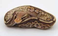 Coral Glow Butter Cinnamon - Morph List - World of Ball Pythons Pretty Snakes, Beautiful Snakes, Cute Reptiles, Reptiles And Amphibians, Python Drawing, Dream Snake, Milk Snake, Pet Ball, Python Regius