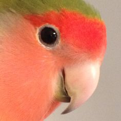 My beautiful peach faced love bird Jorge! His beautiful colors and songs inspire me!! :) One of the best presents Ive ever received!!!
