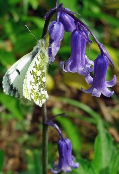 Butterfly on Bluebells