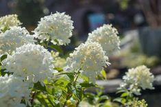 Hortensja krzewiasta w okresie kwitnienia