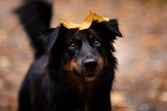 Australien Sheppard Schoko Dog Photography, Australian Shepherd, Dogs, Animals, Instagram, Australia, Aussie Shepherd, Animales, Animaux