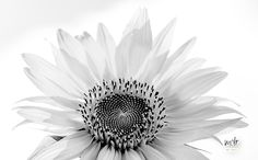 White Sunflower by Maurizio Di Renzo on White Suits, Flora, Collection, Plants