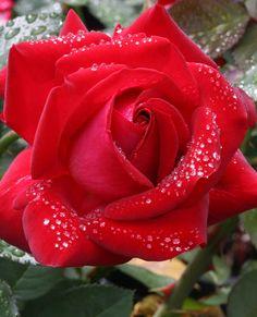 JP: Always & Forever - Resilient Bright Ruby Red Hybrid Tea Rose