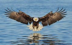 Stunning Bald Eagle in flight over water.                                                                                                                                                                                 More