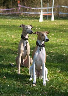 Whippets by Nisha und Coco Animals And Pets, Cute Animals, Away We Go, Lurcher, Grey Hound Dog, Going Gray, Italian Greyhound, Dog Pictures, I Love Dogs