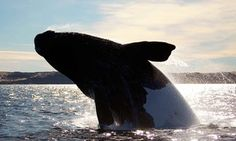 Groupon - Whale-Watching Cruise from Island Mariner (Up to 50% Off). Two Options Available. in Bellingham. Groupon deal price: $64