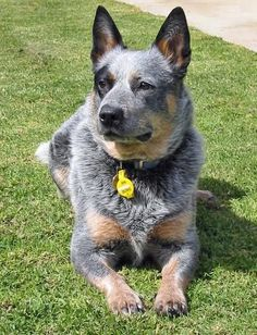Australian Cattle Dog (Blue Heeler) Has been the greatest challenge of a dog to own but by far the best dog I have even owned - going on our second now!