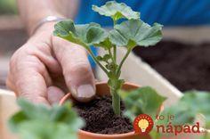 Taking pelargonium cuttings Overwintering Geraniums, Growing Geraniums, Growing Plants, Beautiful Red Roses, Garden Crafts, Bonsai, Garden Design, Home And Garden, Bloom