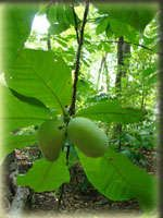 Native US plant called Paw paw.  Here are some of the plant's uses: 1) Eat raw or use in cooking.  Sometimes called a Kentucky Banana. Has a slightly tropical/banana flavor. Very nutritious. 2) Rub leaves on skin as insect repellant. 3) Dry leaves and make powder that kills lice.  Lots of great info and recipes at this link: http://www.pawpaw.kysu.edu/pawpaw/cooking.htm