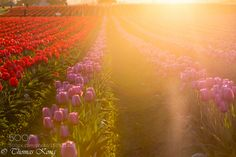 Falling lights on the tulip field by thomaskong78