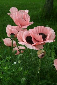 POPPIES:  1) Red, Pink, Orange & White Blooms 2) Blooms May - June, lasting only a week or two 3) Sear the stem's cut end with the flame of a match when using for an indoor arrangement