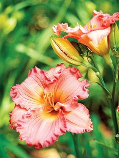 'Iona Pink Promise' A top variety, 'Iona Pink Promise' is favored for its large, pink blooms.  Bloom season: Early to midsummer; may rebloom Flower size: 5 inches Plant size: 2 feet Zones: 3-9