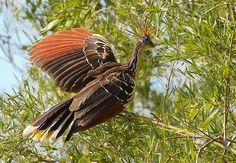 Foto cigana (Opisthocomus hoazin) por Luiz Damasceno | Wiki Aves - A Enciclopédia das Aves do Brasil